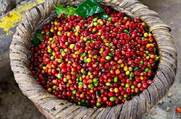 Thị trường giá nông sản hôm nay 13/7: Giá tiêu, giá cà phê đi ngang, tiếp tục có diễn biến bất lợi cho nông dân