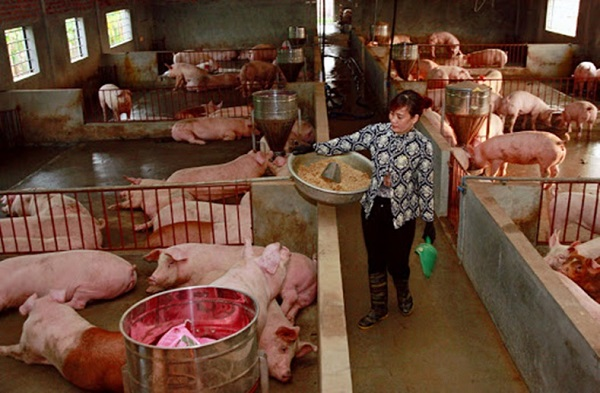 thiếu hụt con giống khiến giá thành tăng cao, người chăn nuôi khá e dè trong việc đầu tư tái đàn khiến