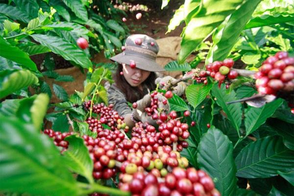 Trong phiên giao dịch sáng nay, giá cà phê tăng sốc gần 1000 đồng/kg