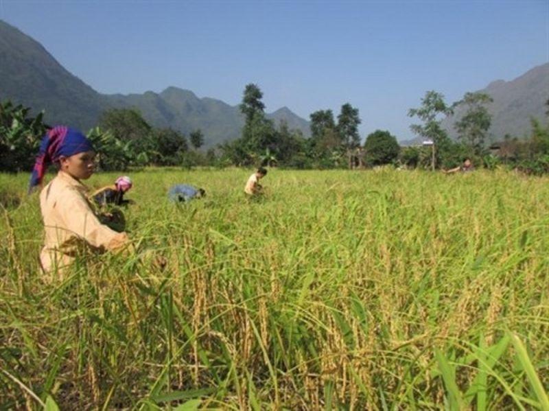 Nhân dân xã Xuân Trường (Bảo Lạc) thu hoạch lúa nếp hương.