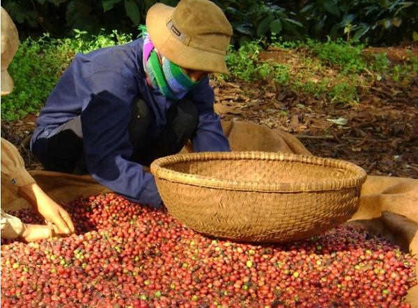 Giá cà phê hôm nay tăng trở lại sau 2 ngày giảm