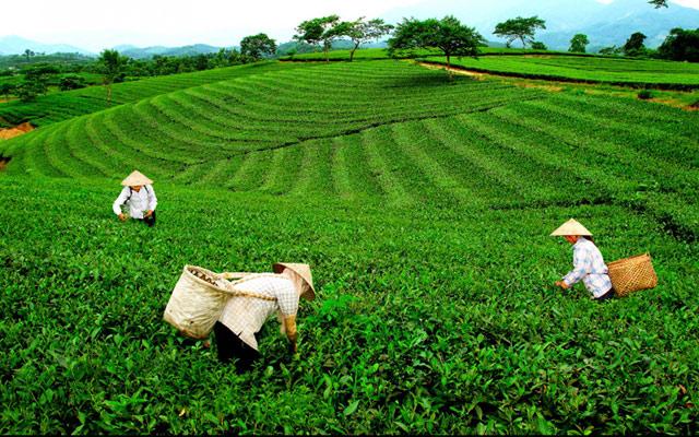 Cây chè là cây công nghiệp mũi nhọn góp phần thúc đẩy quá trình xây dựng Nông thôn mới ở Thái Nguyên