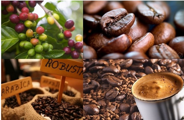Giá cà phê hôm nay giảm thêm 600 - 700 đồng/kg