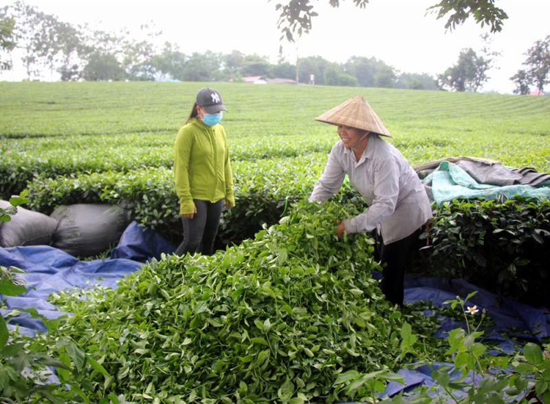 Thu hái chè xã Địch Quả (Thanh Sơn, Phú Thọ)