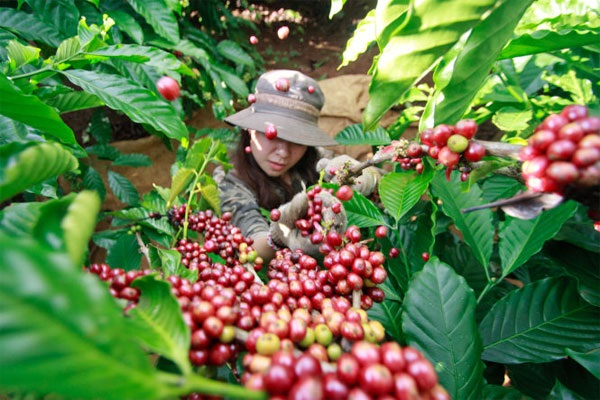 Sau nhiều ngày giảm, cuối tuần giá cà phê tăng trở lại