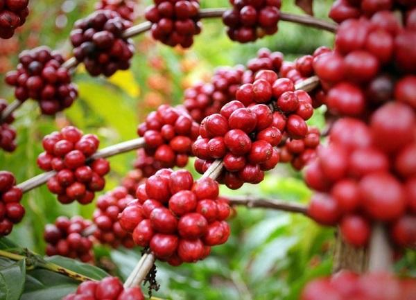 Giá cà phê nguyên liệu trong tuần tăng trung bình 200 đồng - 400 đồng/kg