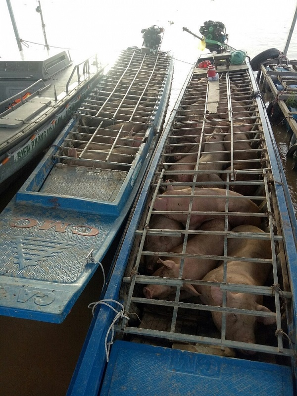 Hai xuồng máy chở đầy lợn nhập lậu từ Caphuchia về Việt Nam