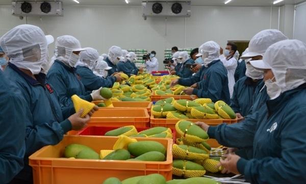 Trung Quốc tạm dừng nhập khẩu xoài Việt Nam do vi phạm liên quan đến kiểm dịch thực vật