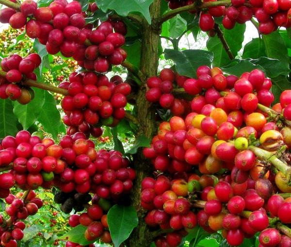 Giá cà phê hôm nay ổn định
