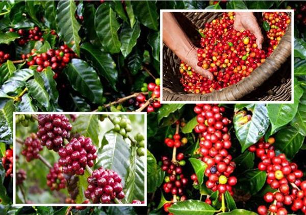 Giá cà phê Tây Nguyên hôm nay đồng loạt tăng 500 đồng/kg