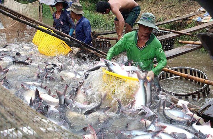 Hiện, giá cá tra nguyên liệu tại nhiều địa phương ĐBSCL ở mức 17.500-18.200 đồng/kg, người nuôi cá tra vẫn bị lỗ.