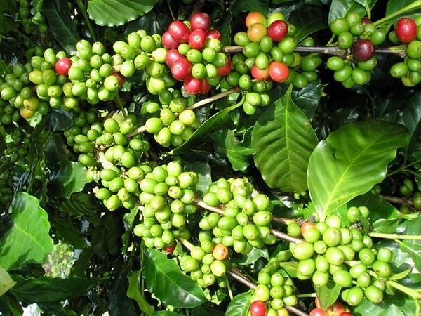 Giá cà phê hôm nay 11/9 tăng 100 đồng/kg