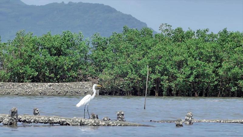 Mảng xanh đang dần hình thành từ những hàng đước non do Quỹ 1 triệu cây xanh cho Việt Nam và Vinamilk trồng tại ven sông Chà Và, tỉnh Bà Rịa Vũng Tàu