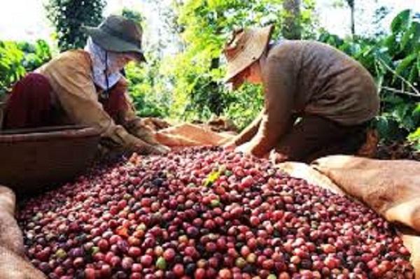 Giá cà phê hôm nay giảm nhẹ