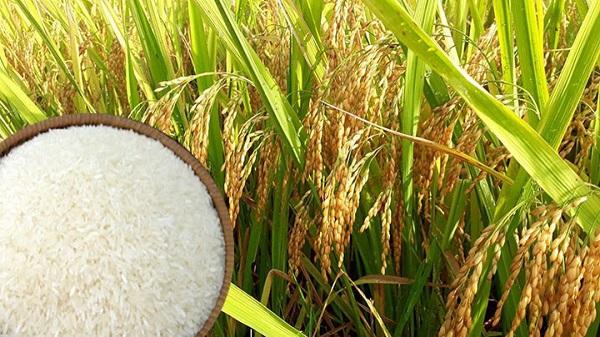 Giá gạo 5% tấm của Việt Nam giảm