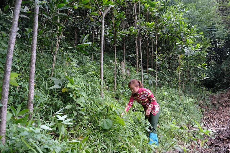 Chị Nông Thị Tám đang chăm sóc những cây keo của gia đình mình do Quỹ 1 triệu cây xanh cho Việt Nam và Vinamilk trao tặng