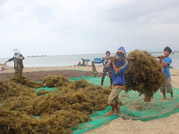 Công ty TNHH Long Hải thu mua rong sụn khô của hàng trăm nghìn người dân vùng biển