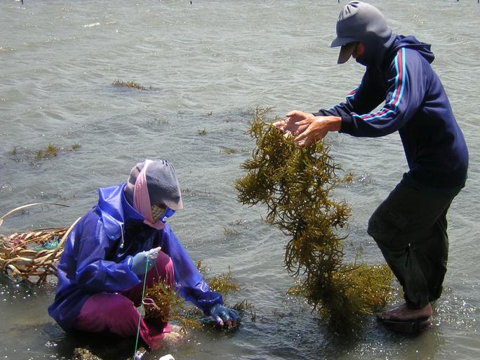 Người dân ven biển có cuộc sống ổn định nhờ việc trồng rong sụn