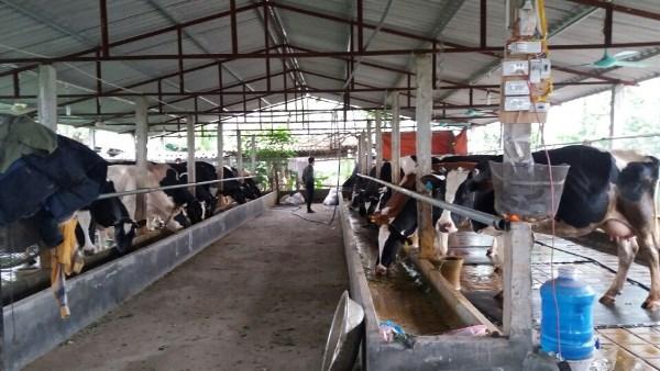 Hệ thống trang trại chăn nuôi bò sữa xã Vĩnh Thịnh
