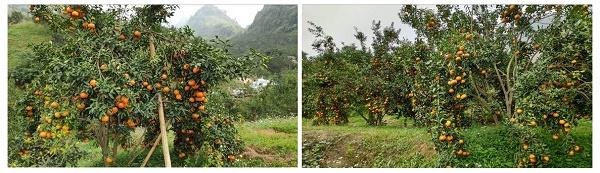 Cây cam sành và vườn cam sành Hàm Yên