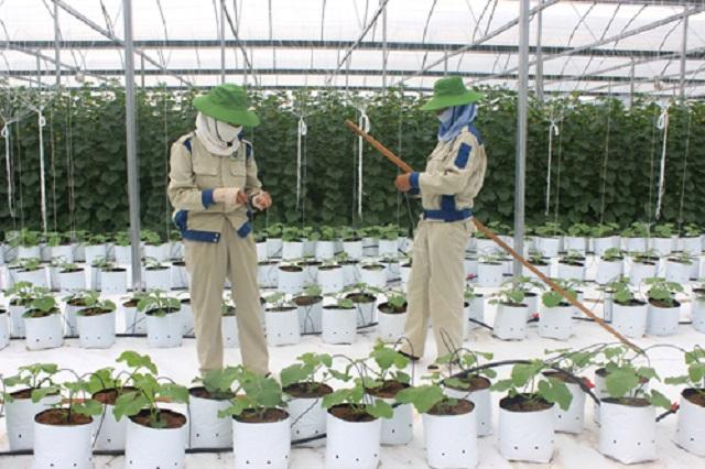 Trang trại trồng dưa lưới Taki của Công ty CP Xây dựng và Thương mại Phong cách mới.