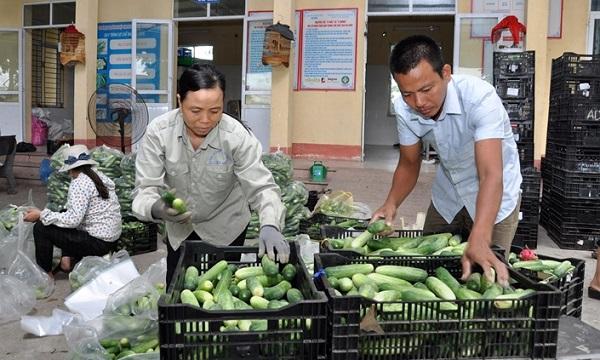 Sơ chế, phân loại dưa chuột tại HTX Dịch vụ nông nghiệp và kinh doanh hàng nông sản An Hòa trước khi cung cấp ra thị trường