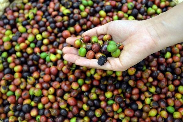 Giá cà phê tại nhiều địa phương tăng mạnh từ 500 - 700 đồng/kg