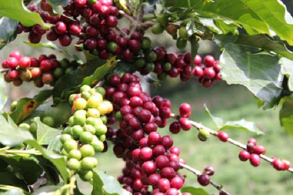 Giá cà phê quay đầu tăng mạnh sau 2 phiên giảm liên tiếp