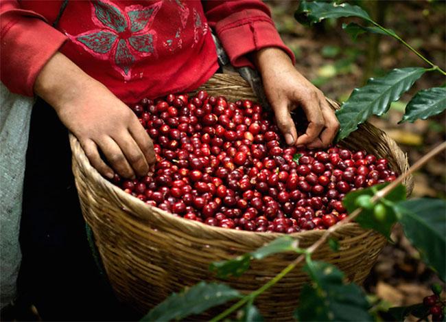 Giá cà phê hôm nay (24/10) quay đầu giảm tại thị trường quốc tế