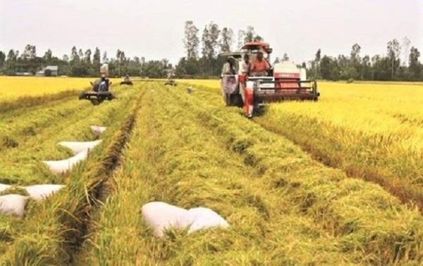 Giá lúa gạo ổn định