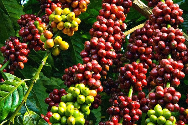Giá cà phê tăng 500 đồng/kg