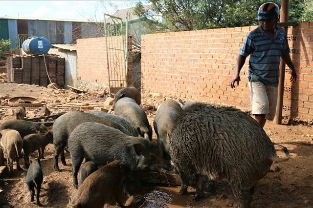 Đắk Lắk vẫn gặp nhiều khó khăn để dập tắt dịch tả lợn Châu Phi