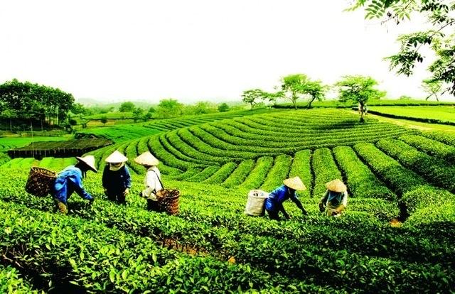 Trà sạch An Nguyên được trồng và thu hoạch tại vùng Trà đặc sản Tân Cương - Thái Nguyên