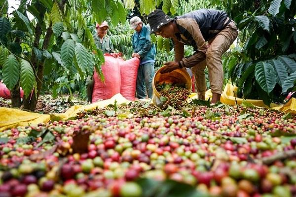 Giá cà phê tiếp tục giảm tại 200 - 300 đồng/kg