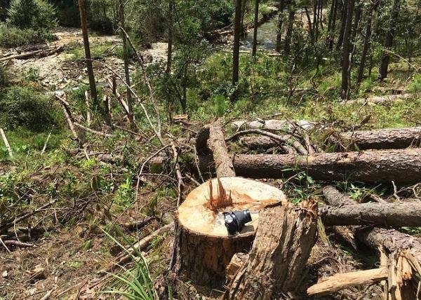Hiện trường vụ phá rừng phòng hộ tại TK 132, Lạc Dương, Lâm Đồng