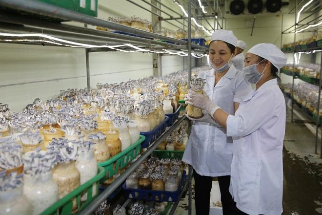 Sản phẩm nấm của Công ty cổ phần KMS đầu tư - sản xuất và thương mại (xã Minh Phú, huyện Sóc Sơn) được công nhận sản phẩm Chương trình OCOP cấp thành phố