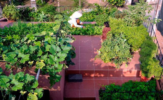 Vườn rau trên mái cung cấp thực phẩm xanh cho gia đình và hàng xóm