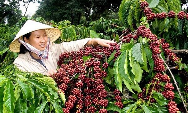 Giá cà phê giảm 200 - 300 đồng/kg