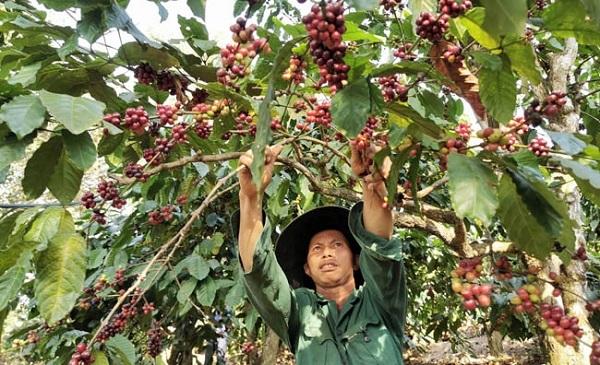 Giá cà phê tăng 200 - 300 đồng/kg