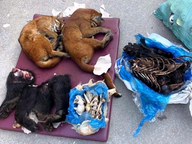 Ngoài pháo, gỗ lậu, ma túy còn có 2 cá thể beo đã chết, 4 chân gấu tươi, 2 bộ xương động vật