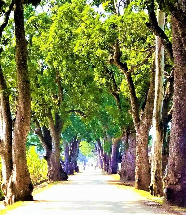 Hàng cây cổ thụ dẫn vào khu di tích