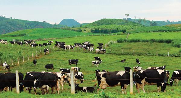 Cao nguyên Mộc Châu sẽ được đầu tư để trở thành thủ phủ bò sữa công nghệ cao của Việt Nam