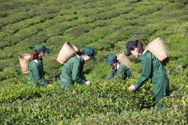 Vinatea hiện đang sở hữu tổng diện tích trồng chè gần 4.700 ha với các vườn chè năng suất cao, chất lượng tốt