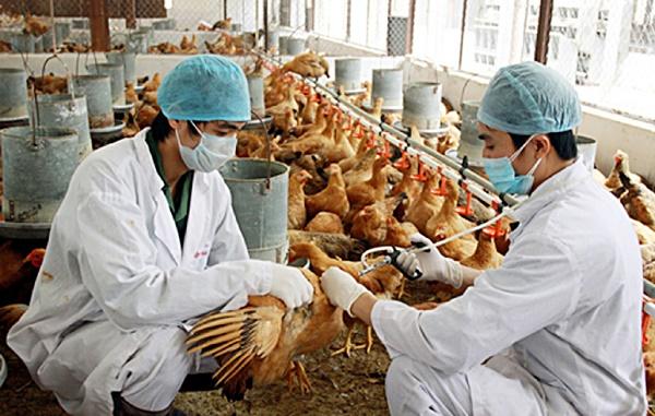 Thủ tướng chỉ thị triển khai quyết liệt các giải pháp phòng, chống dịch bệnh gia súc, gia cầm