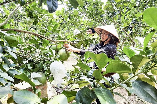 Thu hoạch bưởi da xanh tại huyện Khánh Vĩnh