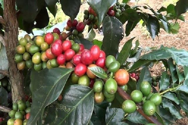 Giá cà phê thu mua đồng loạt giảm