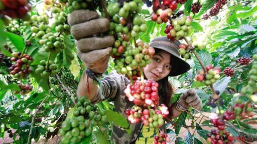 Giá cà phê hôm nay tiếp tục giảm trên thị trường thế giới
