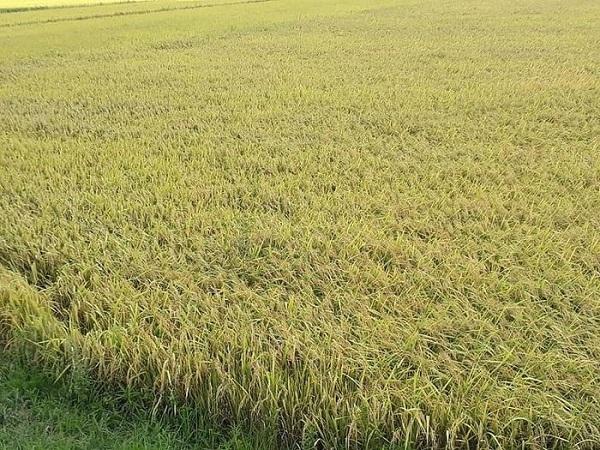 Giá lúa gạo đi ngang