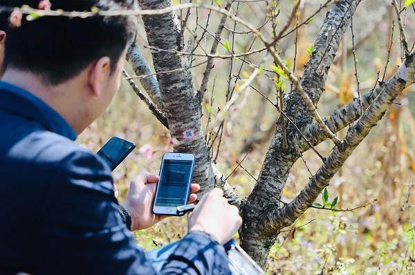 Chuyên gia Trung tâm Mã số Mã vạch Quốc gia hướng dẫn dán tem truy xuất nguồn gốc cho cây đào tại huyện Yên Châu, tỉnh Sơn La