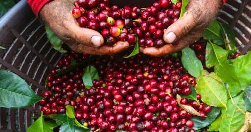 Giá cà phê hôm nay 16/2: Giảm 200 - 300 đồng/kg